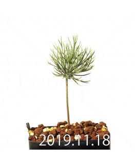 エリオスペルマム ムルチフィヅム 子株 10194