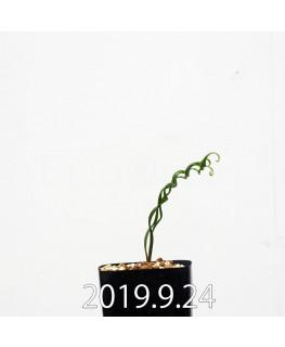 アルブカ ブルース - ベイエリ 実生 10325