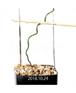 アルブカ ブルース - ベイエリ 実生 10326