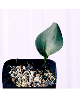 Eriospermum pubescens エリオスペルマム プベスケンス EQ111  10477