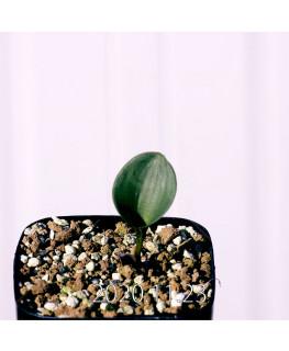 Eriospermum pubescens エリオスペルマム プベスケンス EQ111  10484