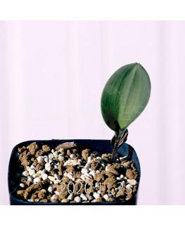Eriospermum pubescens エリオスペルマム プベスケンス EQ111  10492