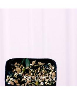 Eriospermum pubescens エリオスペルマム プベスケンス EQ111  10494