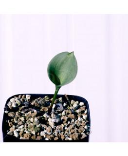Eriospermum pubescens エリオスペルマム プベスケンス EQ111  10499