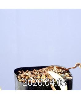 ラケナリア ピグマエア EQ606 実生 10751