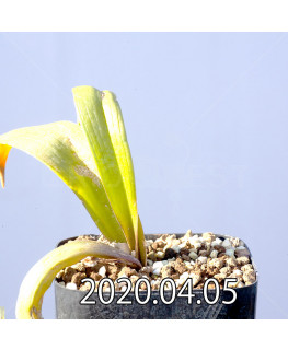 ラケナリア ピグマエア EQ606 実生 10757
