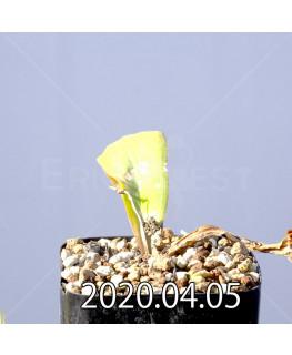 ラケナリア ピグマエア EQ606 実生 10760