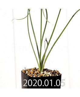 Albuca glandulifera アルブカ グランデュリフェラ JAA1089  10841