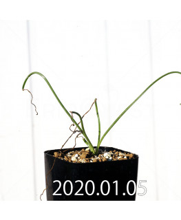 Albuca glandulifera アルブカ グランデュリフェラ JAA1089  10847