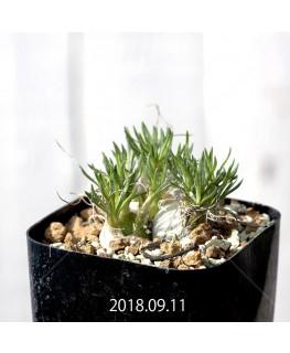 Ornithogalum sp. オーニソガラム 未識別種 EQ615  10911