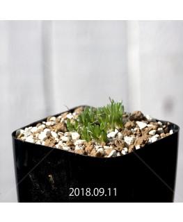 オーニソガラム sp. KangoRiver 子株 10992