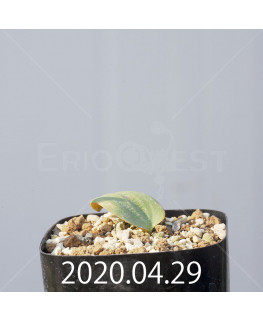 エリオスペルマム カペンセ 実生 11102