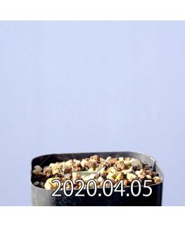 エリオスペルマム ドレゲイ IB13772 実生 11138