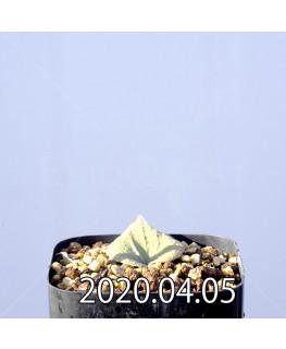 エリオスペルマム ドレゲイ IB13772 実生 11149