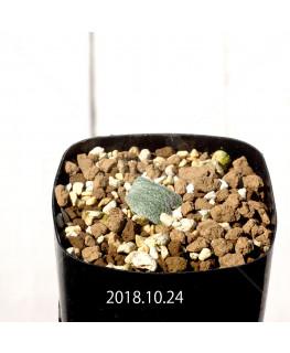 エリオスペルマム ドレゲイ IB13772 実生 11157