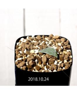 エリオスペルマム ドレゲイ IB13772 実生 11167