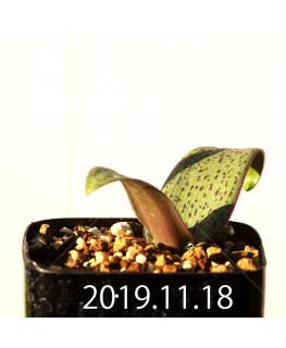 ラケナリア sp. JAA1352 実生 11204