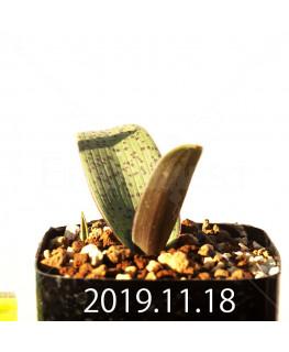 ラケナリア sp. JAA1352 実生 11205