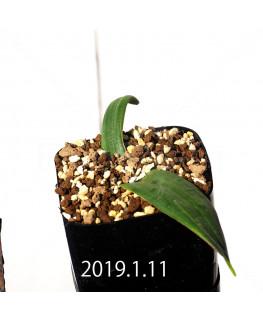 ラケナリア ネルボーサ JAA1448 実生 11292