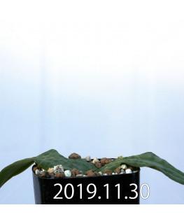 ラケナリア ネルボーサ JAA1448 実生 11295
