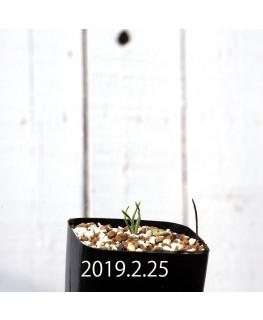 カマイスキラ スピラリス 子株 11297