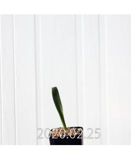 ラケナリア カルノーサ 実生 11366