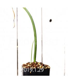 ラケナリア ムタビリス EQ467 実生 11420