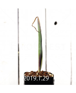 ラケナリア ムタビリス EQ467 実生 11424