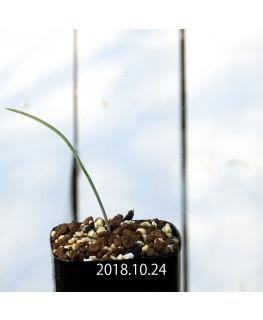 ラケナリア カループールテンシス EQ636 実生 11687
