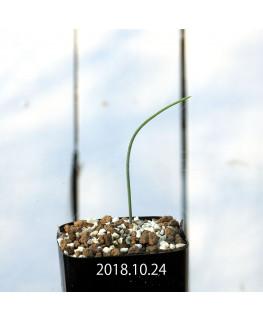 ラケナリア カループールテンシス EQ636 実生 11690