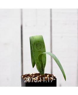 ラケナリア スタイネリ 子株 11719