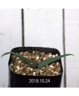 ドリミア ヒヤシントイデス IB40719 実生 11728