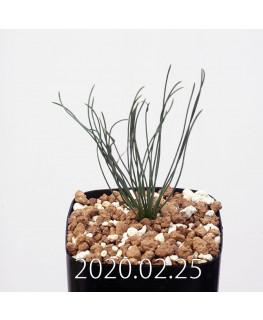 Drimia uranthera ドリミア ウランテラ EQ640  11736