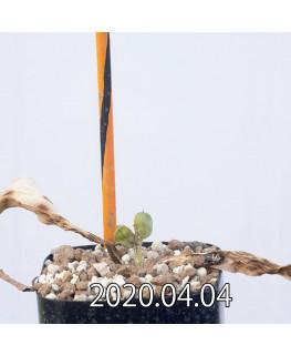 ダウベニア ゼイヘリ EQ650 実生 11921