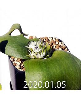 マッソニア ジャスミニフローラ IB11536/JIL085 実生 11985