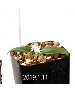 マッソニア ジャスミニフローラ IB11536/JIL085 実生 11987
