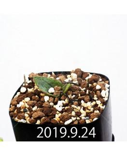 マッソニア ジャスミニフローラ IB11536/JIL085 実生 11997