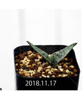ラケナリア ブルビフェラ EQ658 子株 12021