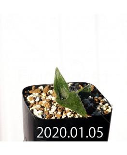 ラケナリア コンプトニー EQ443 子株 12054