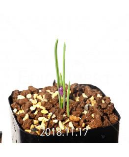 ラケナリア ポーキフォリア EQ660 実生 12101