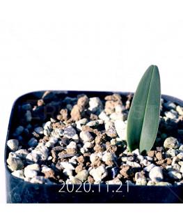 Androcymbium burchellii アンドロキンビウム ブルケリー EQ662  12135