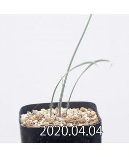 ゲチリス sp. cf. グレゴリアナ 実生 12200