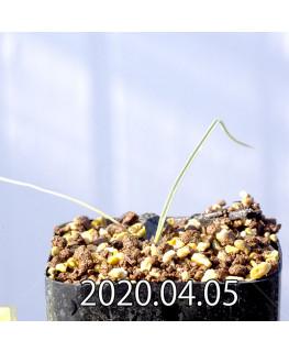アンドロキンビウム キルキナツム キルキナツム亜種 実生 12208