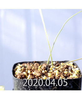 アンドロキンビウム キルキナツム キルキナツム亜種 実生 12214