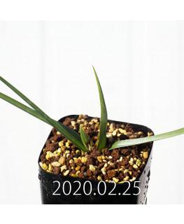 アンドロキンビウム ロンギペス EQ700 実生 12231