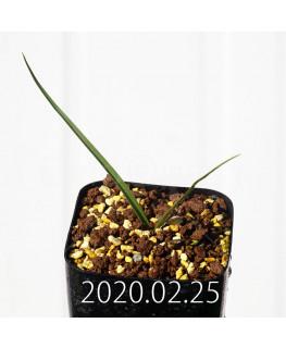 アンドロキンビウム ロンギペス EQ700 実生 12233