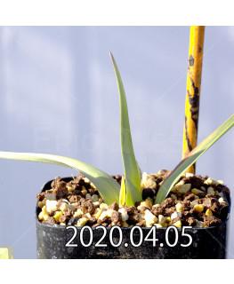アンドロキンビウム ロンギペス EQ700 実生 12234