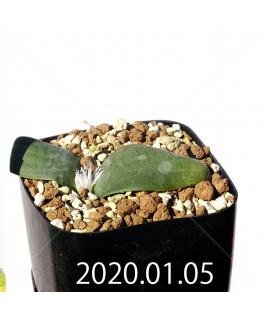 マッソニア ジャスミニフローラ IB11536/JIL085 実生 12291