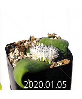 マッソニア ジャスミニフローラ IB11536/JIL085 実生 12295