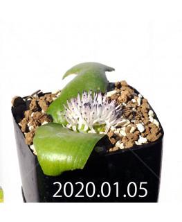 マッソニア ジャスミニフローラ IB11536/JIL085 実生 12303